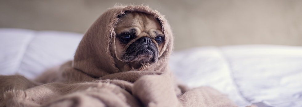 Pug in a blanket